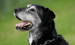 cachorro-idoso-03-500x302